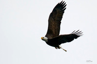 20201123-ConowingoDam-DarlingtonMD-Eagles