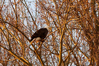 20201124-ConowingoDam-DarlingtonMD-Eagles